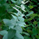 Aceite esencial de eucalipto blanco