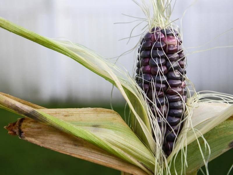 superalimentos maiz morado