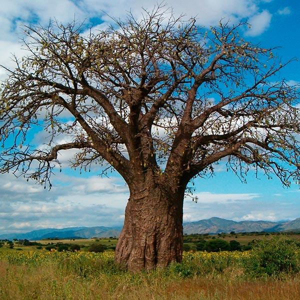 baobab aceite vegetal