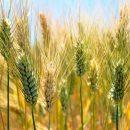 germen de trigo aceite vegetal