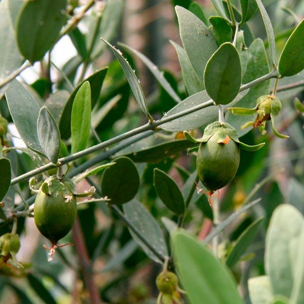 jojoba aceite vegetal