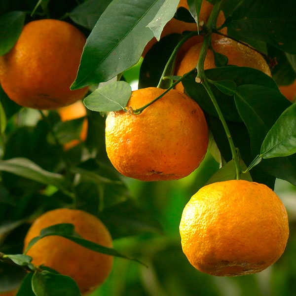 naranja amarga aceite esencial
