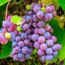 pepita uva aceite vegetal