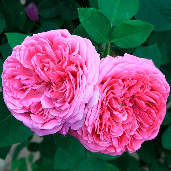 rosa damascena aceite esencial