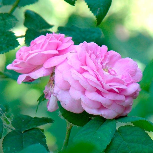 rosa mosqueta aceite vegetal