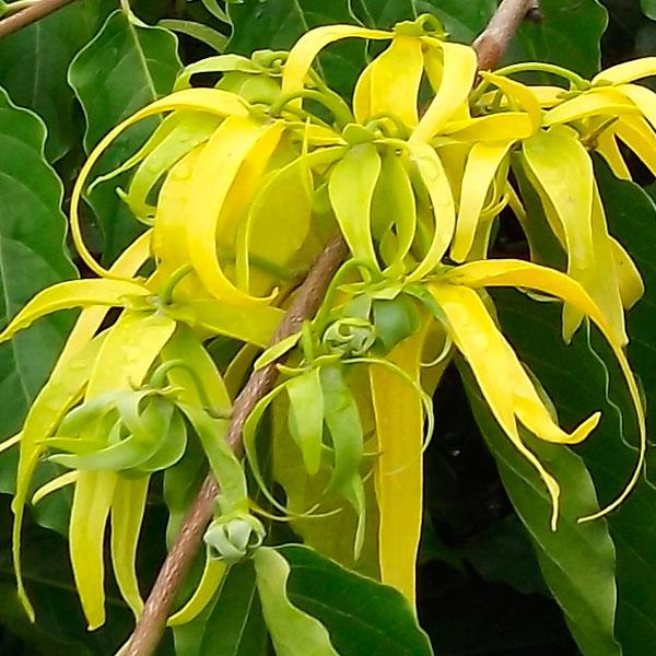ylang ylang aceite esencial